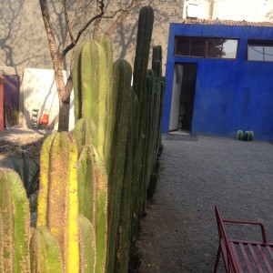 Pachycereus Marginatus. Aka Mexican fence Posts